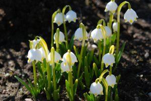 Kevadine märtsikelluke