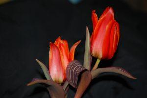 Tulp 'United States'