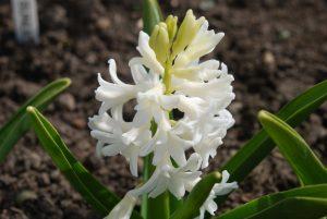 Hüatsint 'Blanc White'