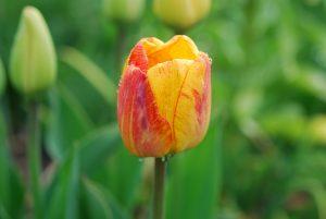 Tulp 'Blushing Apeldoorn'