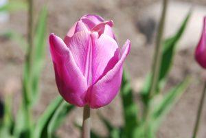 Tulp 'Blue Aimable'