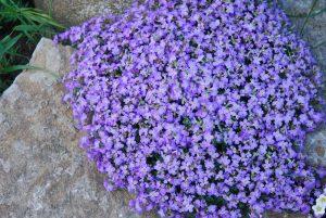 Aubrieeta lilla