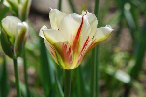 Tulp 'Flaming Springgreen'