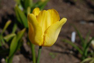 Tulp 'Golden Glasnost'