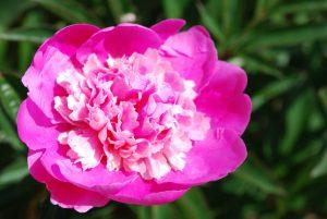 Pojeng täidisõieline roosa