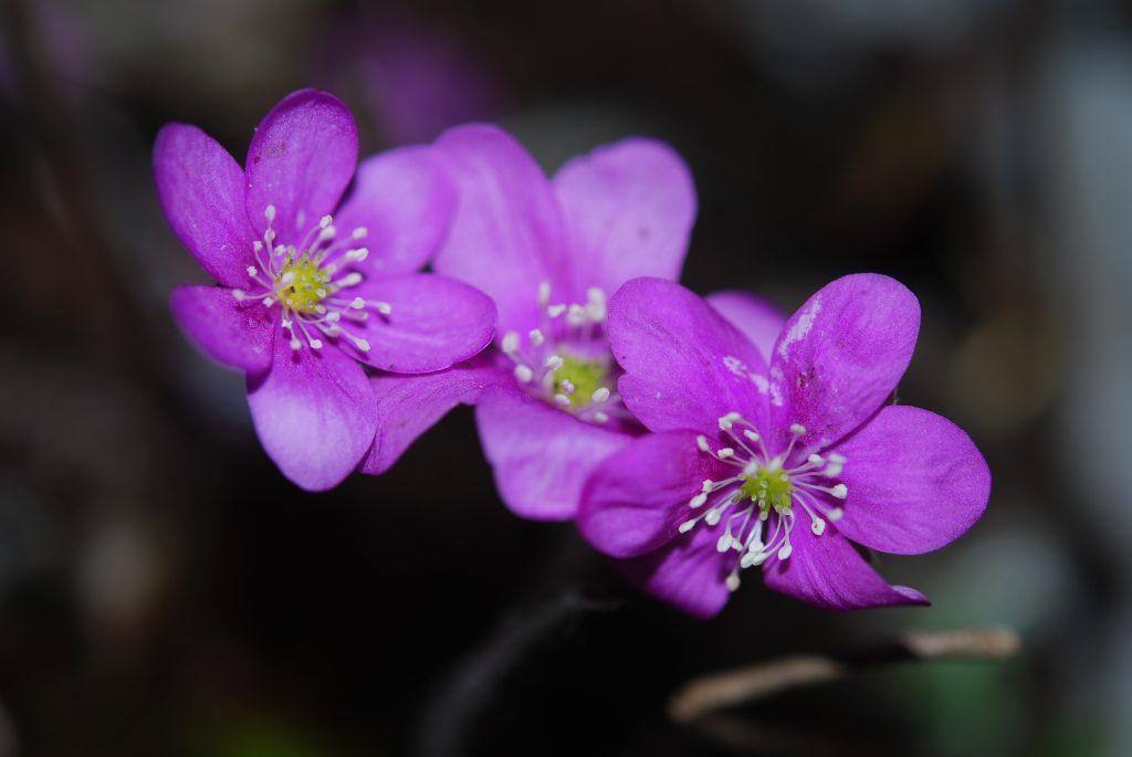 Harilik sinilill roosaõieline