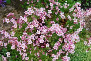 Arendsi kivirik roosa